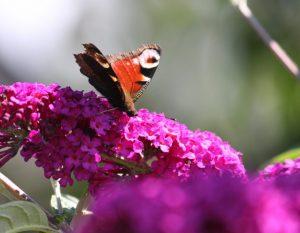 Heimische Schmetterlinge – ein Tagpfauenauge