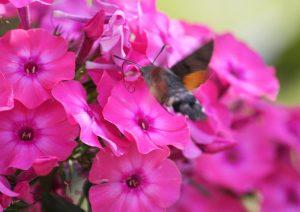 Ein Taubenschwänzchen vor einer Blüte