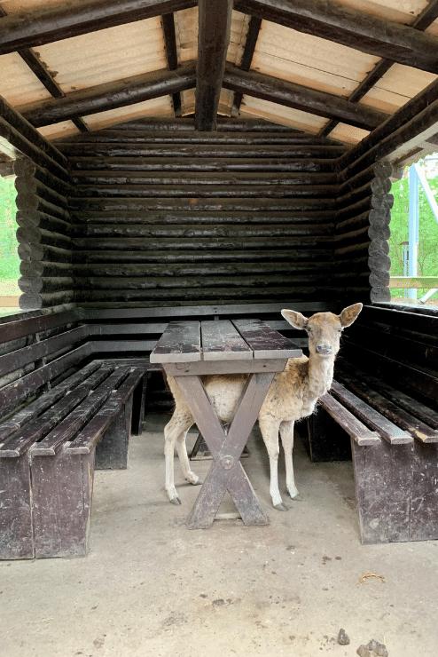Wildpark Lüneburger Heide – Reh unter Tisch