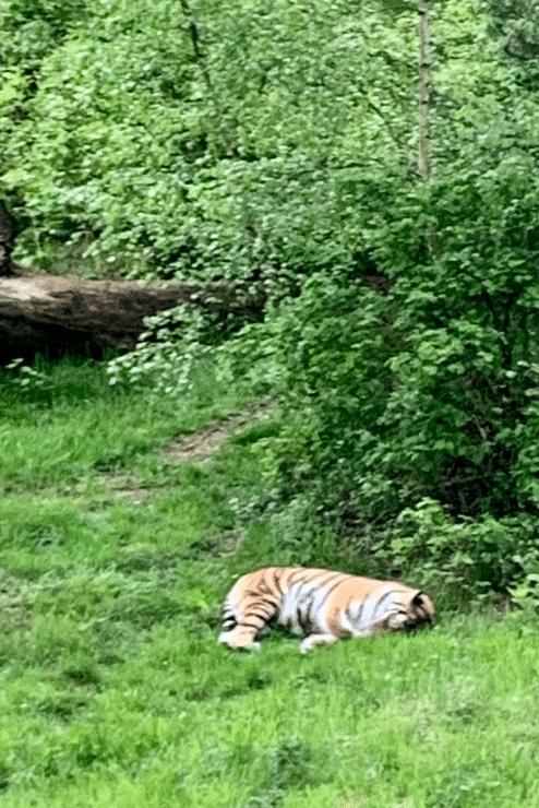 Wildpark Lüneburger Heide – Tiger im Gehege